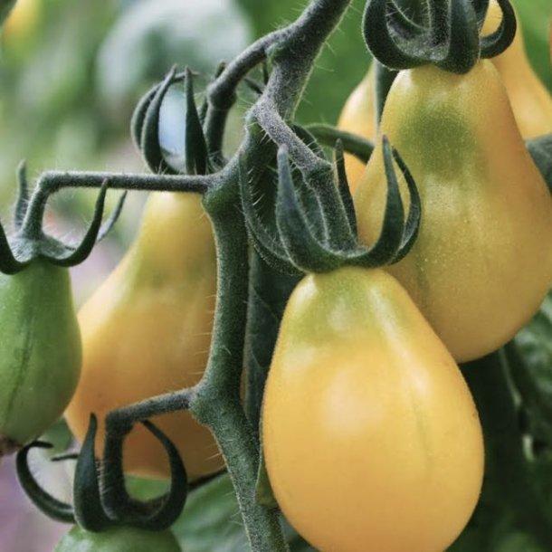 Yellow Submarine - gul cherry tomat