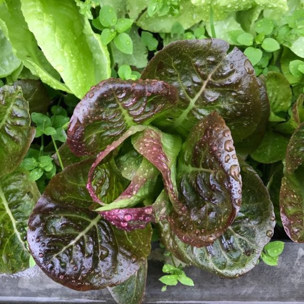 Pirat red butterhead lettuce - rød salat
