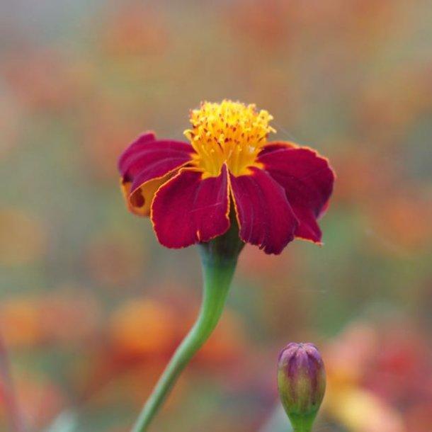 Ildkongen - tagetes - spiselig blomst